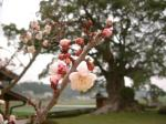 武雄川古の大楠の梅