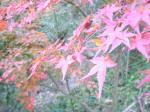 秋月の紅葉1