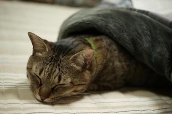 コタツ猫3