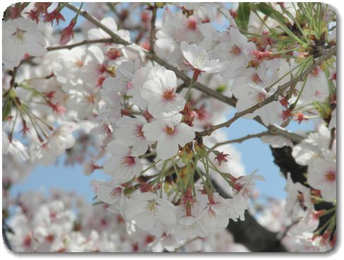 12桜UP