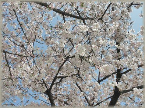 12桜天井