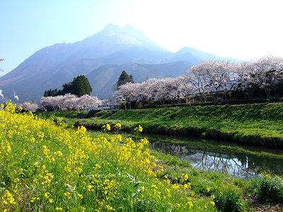 菜の花と満開の桜と由布岳