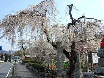 長瀞・法善寺のしだれ桜