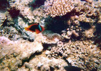 珊瑚のイソギンチャクにはクマノミが