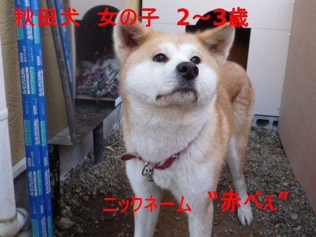 秋田犬1221 006 (1)11