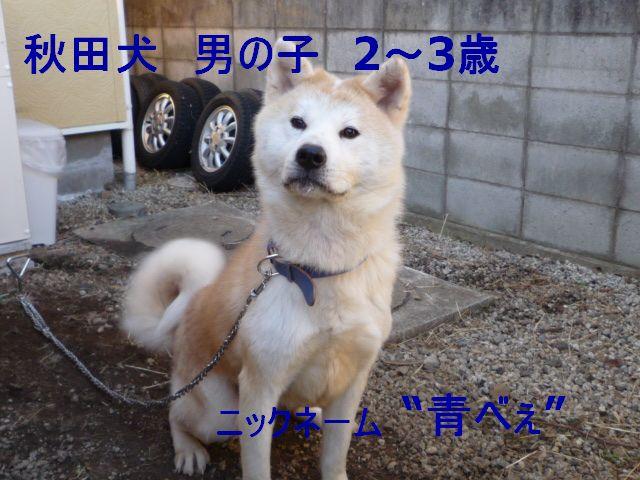 秋田犬1221 00511