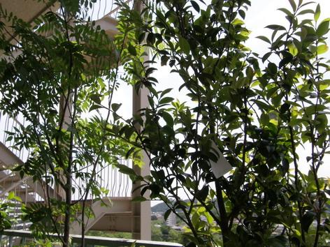テラスの樹木