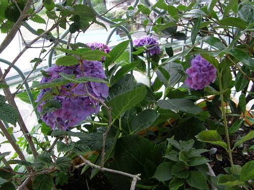 我が家の紫陽花 7,29