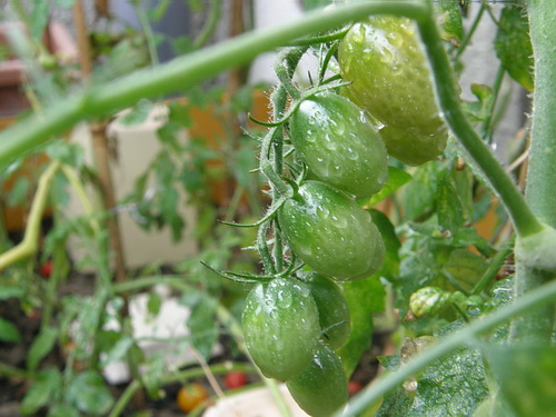 9,4 まだまだ収穫できるミニトマト
