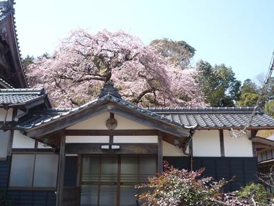桜 裏 (2)