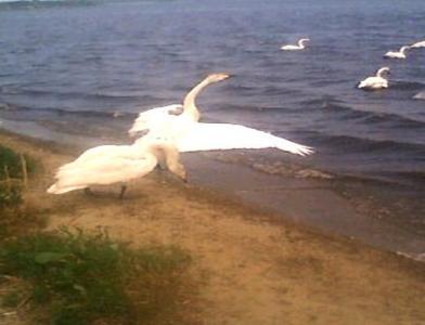 白鳥の旅立ち