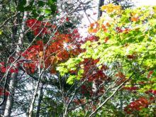 紅葉の紅葉
