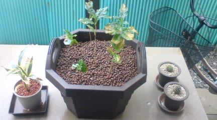 110504コーヒーの樹植え替え