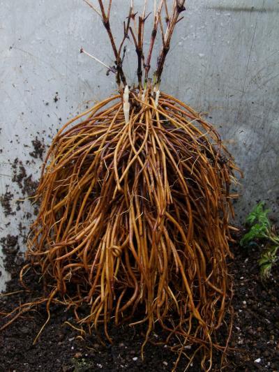 マドンナの根