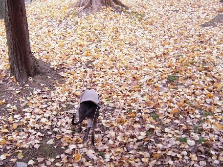 落ち葉のプールにダイブする。