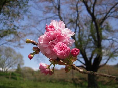 ぽんぽん桜~~~♪♪♪