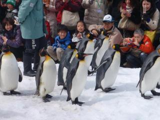 ペンギンの散歩2
