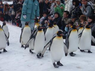 ペンギンの散歩4