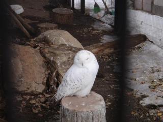 白フクロウさん