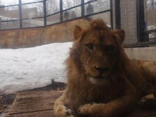 ライオンさん2