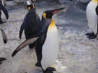 ペンギンさん4