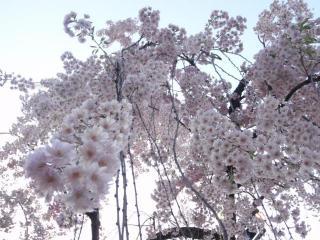 弘前城しだれ桜(1)