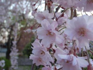 弘前城しだれ桜(2)