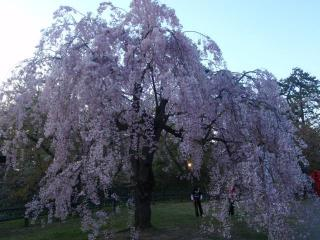 弘前城しだれ桜(3)