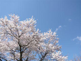 桜24-1