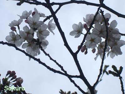 桜咲きはじめました