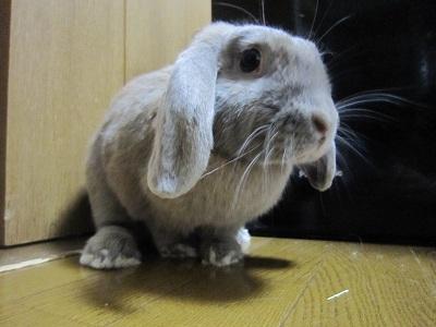 お金を狙うウサギ