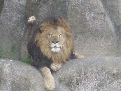 ライオン・・・