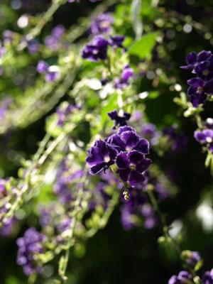 千駄木の花はむらさき
