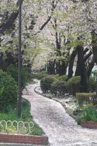 桜並木10
