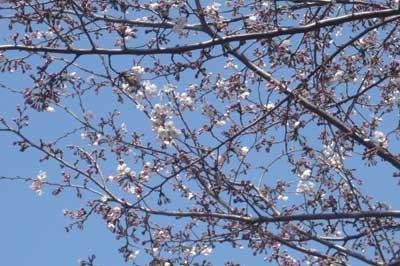 桜並木(つぼみ)