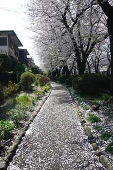 桜並木(遊歩道)