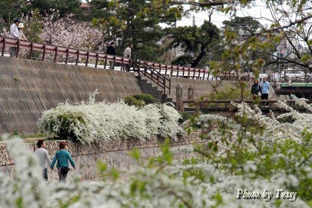 夙川公園のユキヤナギ
