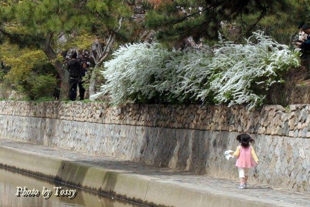 夙川公園のユキヤナギ2