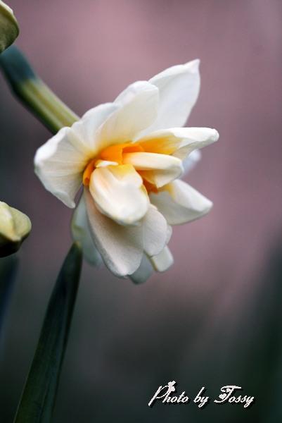 八重咲き水仙2