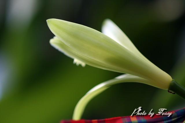 バニラの花2