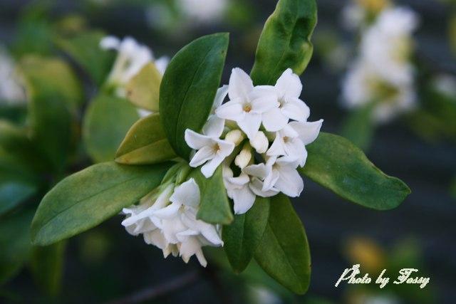 ジンチョウゲ3 白花
