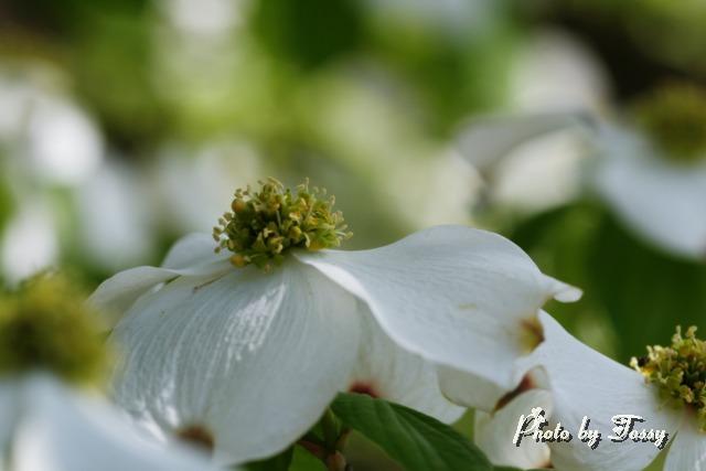 ハナミズキ 白花1