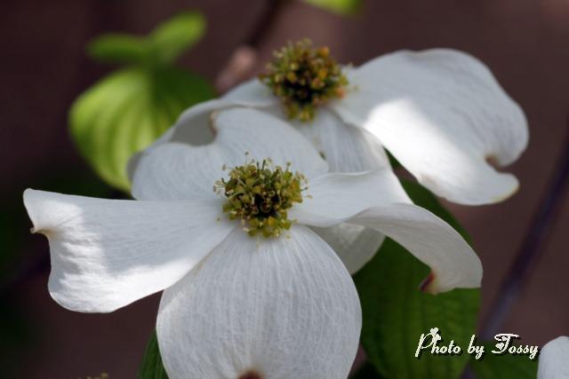 ハナミズキ 白花2
