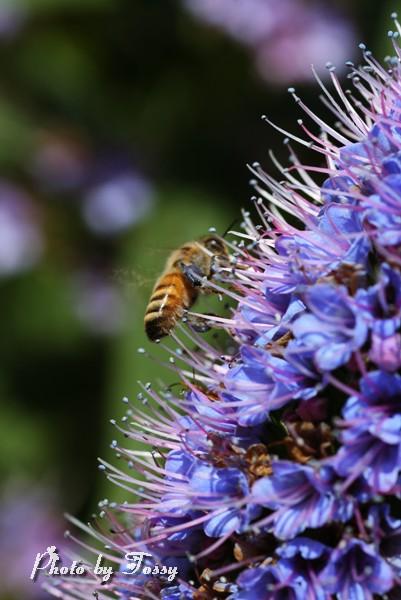 エキウム・カンディカンス4 ミツバチ