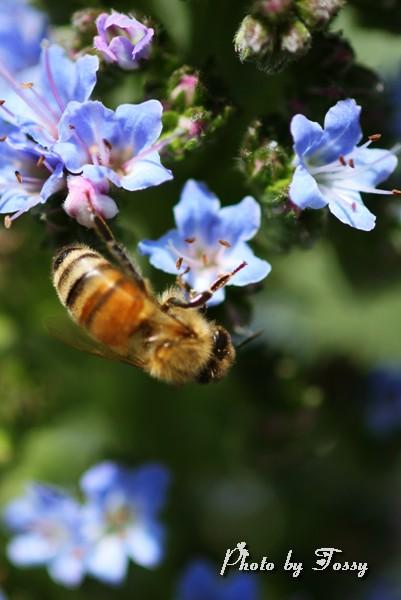 エキウムとハチ