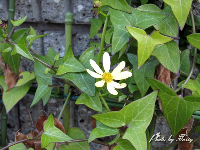 マーガレットアイビー 花3