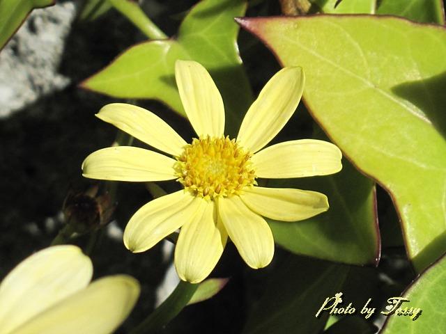 マーガレットアイビー 花