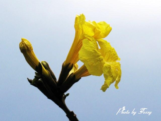 イペの花4