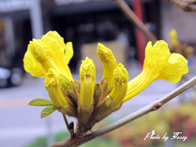 イペの花3