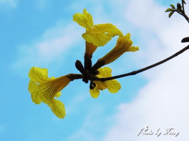 イペの花1